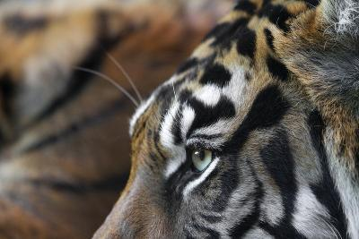 An Extreme Closeup Of A Tiger's Eye And The Pattern On Its Face-Karine Aigner-Photographic Print