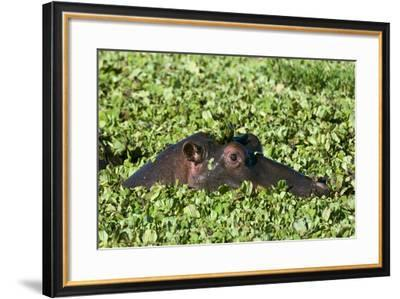An Hippopotamus, Hippopotamus Amphibius. Peers from a Plant-Covered Pool-Sergio Pitamitz-Framed Photographic Print