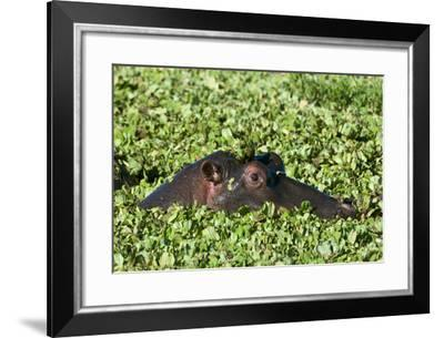 An Hippopotamus, Hippopotamus Amphibius. Peers from a Plant-Covered Pool-Sergio Pitamitz-Framed Photographic Print