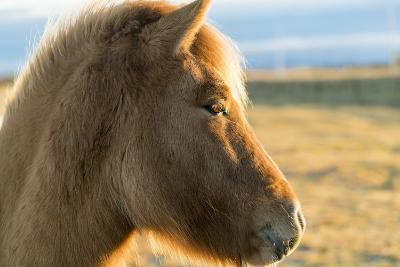 An Icelandic Horse, Equus Ferus Caballus, on South Coast of Iceland-Ira Block-Photographic Print