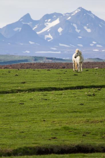 An Icelandic Horse in a Field-Erika Skogg-Photographic Print