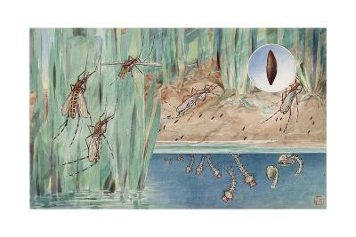 An Illustration of the Life Cycle of Salt-Marsh Mosquitoes-Hashime Murayama-Giclee Print