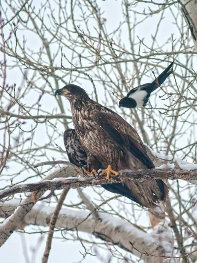 An Immature Bald Eagle Being Dive-Bombed by a Black-Billed Magpie Near the Magpie's Nest-Gordon Wiltsie-Photographic Print