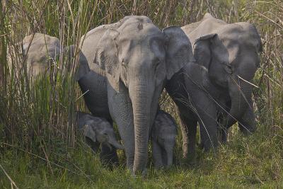 An Indian Elephant Family In Kaziranga National Park-Steve Winter-Photographic Print