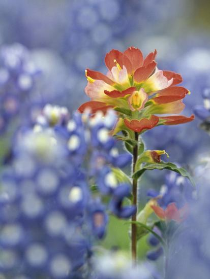 An Indian Paintbrush, Castilleja, Rises Up Amidst a Sea of Texas Bluebonnets, Lupinus Texensis-Don Grall-Photographic Print