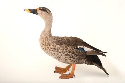 An Indian Spot Billed Duck, Anas Poecilorhyncha, at Sylvan Heights Bird Park-Joel Sartore-Photographic Print