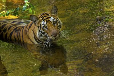 An Indian Tiger Cools Off in a Stream in Bandhavgarh National Park-Steve Winter-Photographic Print