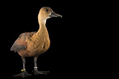 An Indonesian Wandering Whistling Duck, Dendrocygna Arcuata Arcuata, at the Palm Beach Zoo-Joel Sartore-Photographic Print