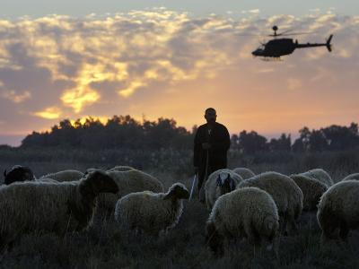 An Iraqi Man Tends to His Sheep While a U.S. Military Helicopter Circles Overhead--Photographic Print