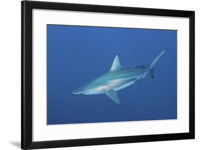An Oceanic Blacktip Shark, South Africa-Stocktrek Images-Framed Photographic Print