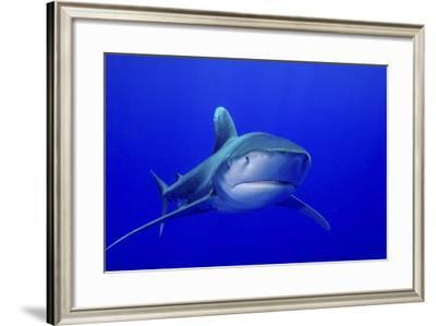 An Oceanic Whitetip Shark, Cat Island, Bahamas-Stocktrek Images-Framed Photographic Print