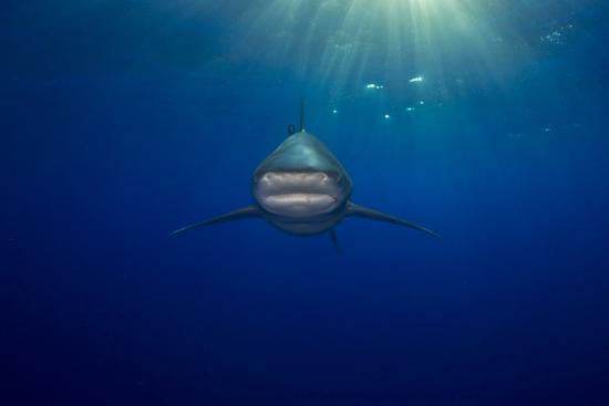 An Oceanic Whitetip Shark Swimming in the Open Ocean-Jim Abernethy-Photographic Print