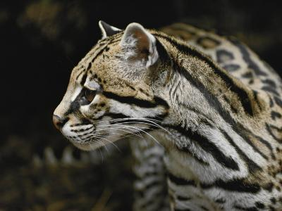 An Ocelot-Jason Edwards-Photographic Print