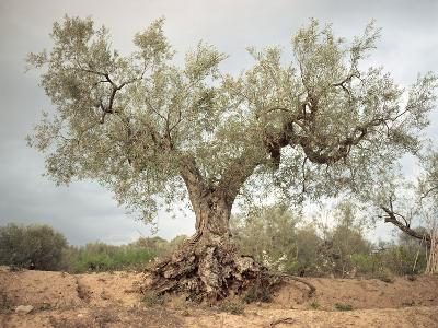 An Old Olive Tree-Roland Andrijauskas-Photographic Print