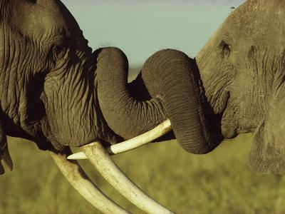 An Older Male African Elephant, Loxodonta Africana,Spars with a Younger One-William Thompson-Photographic Print