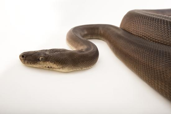 An Olive Python, Liasis Olivaceous, at the Wild Life Sydney Zoo-Joel Sartore-Photographic Print