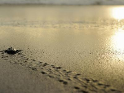 An Olive Ridley Sea Turtle Hatchling (Lepidochelys Olivacea) on its Way to the Sea-Solvin Zankl-Photographic Print