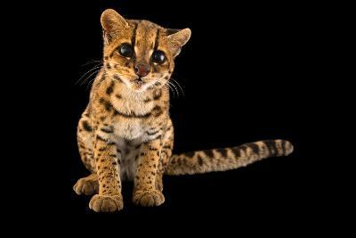 An Oncilla, Leopardus Tigrinus Pardinoides, at Parque Jaime Duque-Joel Sartore-Photographic Print