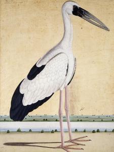 An Open-Beaked Stork, C. 1780