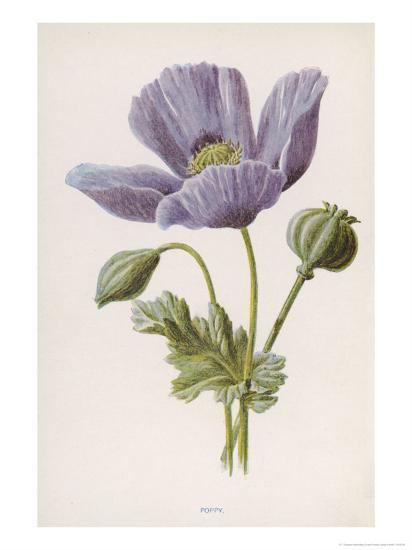 An Opium Poppy-F^ Edward Hulme-Giclee Print