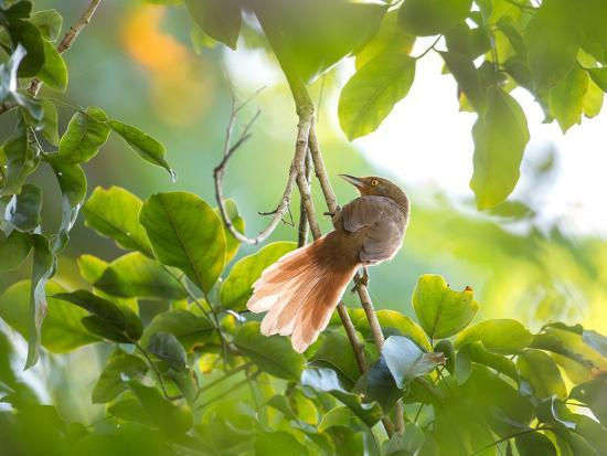 An Orange-Breasted Thornbird Perches on a Tree Branch in the Atlantic Rainforest-Alex Saberi-Photographic Print