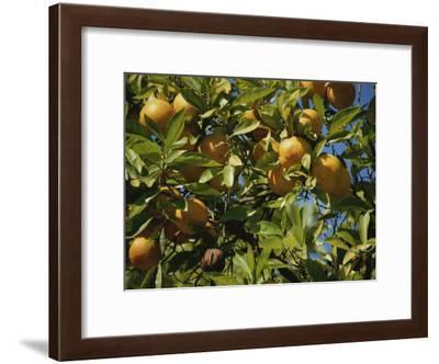 An Orange Tree Bears Fruit Along Sunset Boulevard-Stephen St^ John-Framed Photographic Print