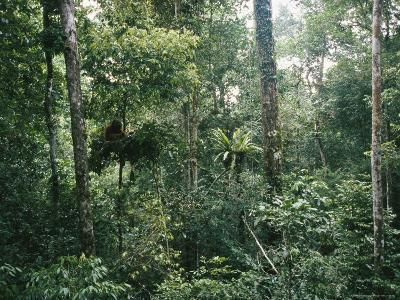 An Orangutan Nesting in a Tree in Gunung Palung National Park-Tim Laman-Photographic Print