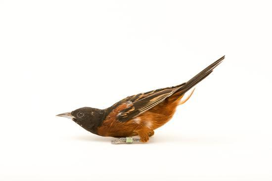 An Orchard Oriole, Icterus Spurius, at the Columbus Zoo.-Joel Sartore-Photographic Print