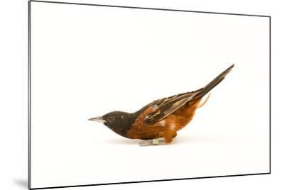 An Orchard Oriole, Icterus Spurius, at the Columbus Zoo.-Joel Sartore-Mounted Photographic Print