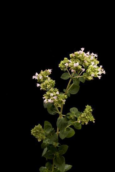 An Oregano Plant, Origanum Vulgare-Joel Sartore-Photographic Print