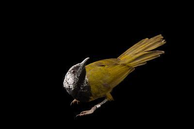 An Oriole Warbler, Hypergerus Atriceps, at the Oklahoma City Zoo-Joel Sartore-Photographic Print