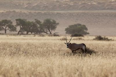 An Orix Grazing in the Namib-Naukluft National Park at Sunset-Alex Saberi-Photographic Print