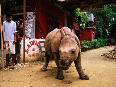 An Orphan Baby Indian Rhinoceros Standing in a Street, Royal Chitwan National Park, Sauraha, Nepal-Andrew Parkinson-Photographic Print