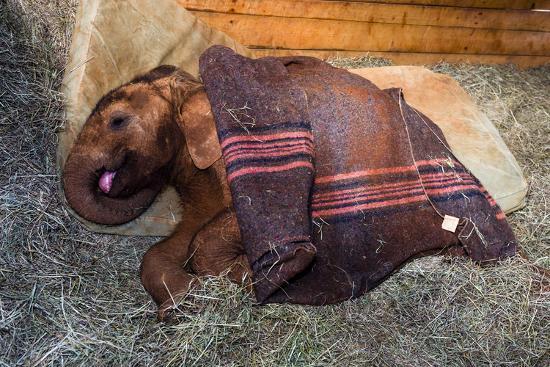 An Orphaned African Elephant Calf Sleeping Beneath a Blanket-Jason Edwards-Photographic Print