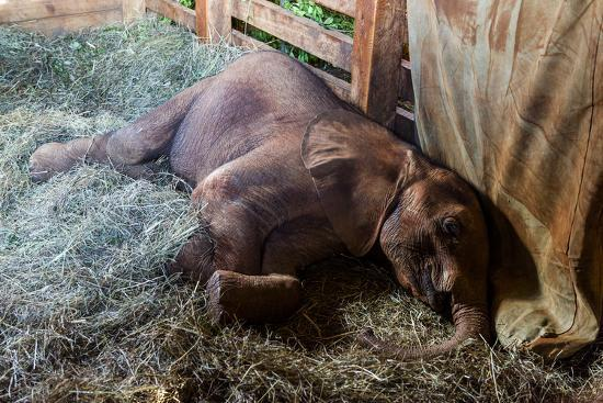 An Orphaned African Elephant Calf Sleeping in a Bed of Straw in Wildlife Shelter Barn-Jason Edwards-Photographic Print