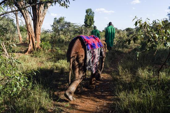 An Orphaned African Elephant with a Sleeping Blanket Follows a Carer Through the Forest-Jason Edwards-Photographic Print
