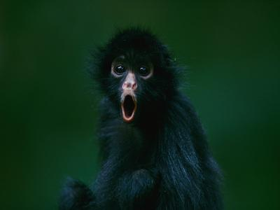 An Orphaned Black-Faced Spider Monkey Named Pulgoso-Joel Sartore-Photographic Print