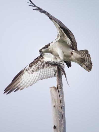 An Osprey on a Dead Tree, Eating a Fish, Near the Occoquan River-Kent Kobersteen-Photographic Print
