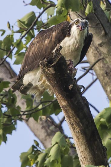 An Osprey, Pandion Haliaetus in a Tree with a Fish Along the Occoquan River-Kent Kobersteen-Photographic Print