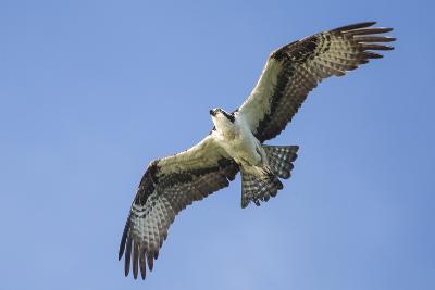 An Osprey, Pandion Haliaetus, in Flight in a Clear Blue Sky-Kent Kobersteen-Photographic Print