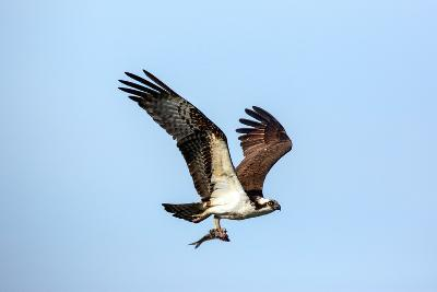 An Osprey, Pandion Haliaetus, in Flight with a Fresh-Caught Fish in its Talons-George Grall-Photographic Print
