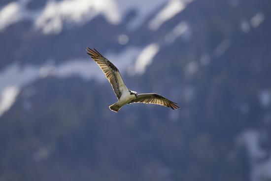 An Osprey, Pandion Haliaetus, Soaring Above Trout Lake in Yellowstone National Park-Robbie George-Photographic Print