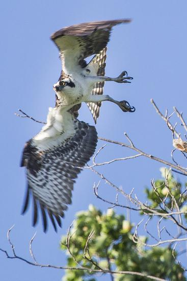 An Osprey, Pandion Haliaetus, Takes Flight from a Tree Branch-Kent Kobersteen-Photographic Print