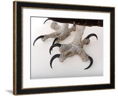 An Osprey, Pandion Haliaetus-Joel Sartore-Framed Photographic Print
