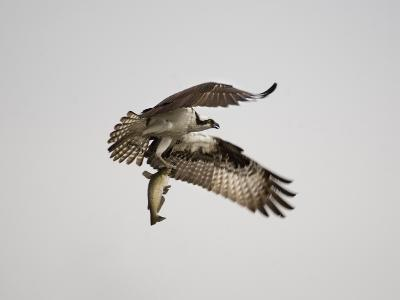 An Osprey with a Freshly Caught Fish-Aaron Huey-Photographic Print