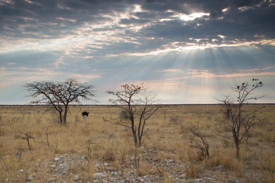 An Ostrich at Sunrise in Etosha National Park-Alex Saberi-Photographic Print