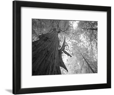 An over 300 Foot Giant Redwood Tree-Michael Nichols-Framed Photographic Print