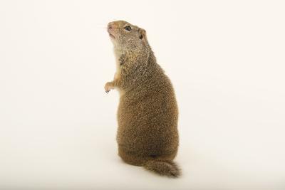 An Uinta Ground Squirrel, Urocitellus Armatus.-Joel Sartore-Photographic Print
