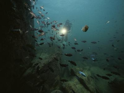 An Underwater Divers Light Sends Cichlid Fish Scurrying-Bill Curtsinger-Photographic Print