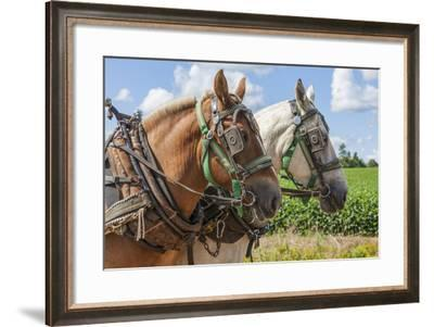 An Unmatched Team of Draft Horses in Harness on the Farm.-onepony-Framed Photographic Print